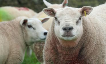 sheep rumenco livestock feed supplements buckets blocks licks